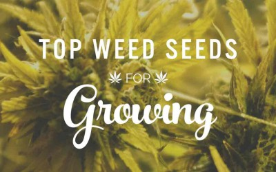 Top Weed Seeds For Growing